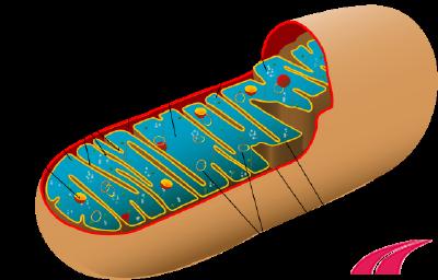 Ti thể (mitochondrion)