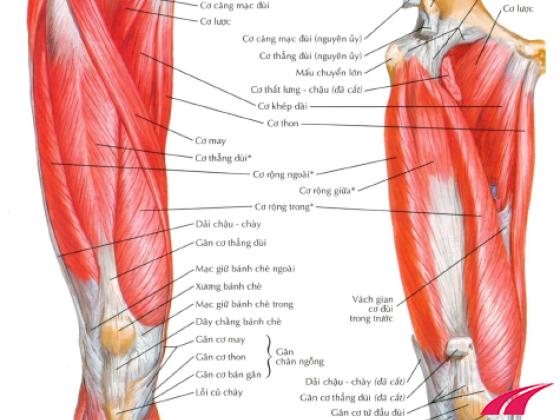 Cơ tứ đầu đùi gồm 4 cơ: cơ thẳng đùi, cơ rộng ngoài, cơ rộng giữa, cơ rộng trong