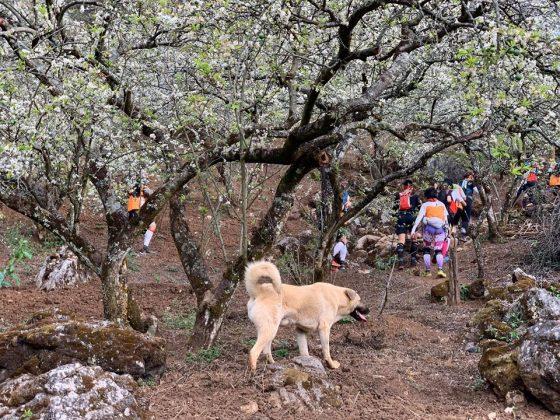 Chú chó tên Cam chạy theo các VĐV 42km VTM. Ảnh: Thuy Bee