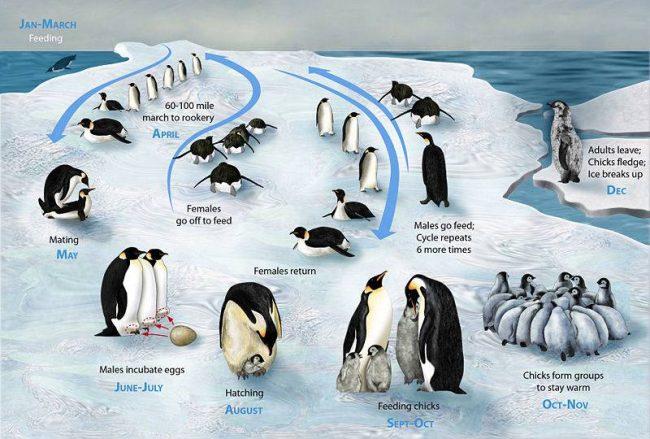 nguyên tắc sinh tồn của chim cánh cụt